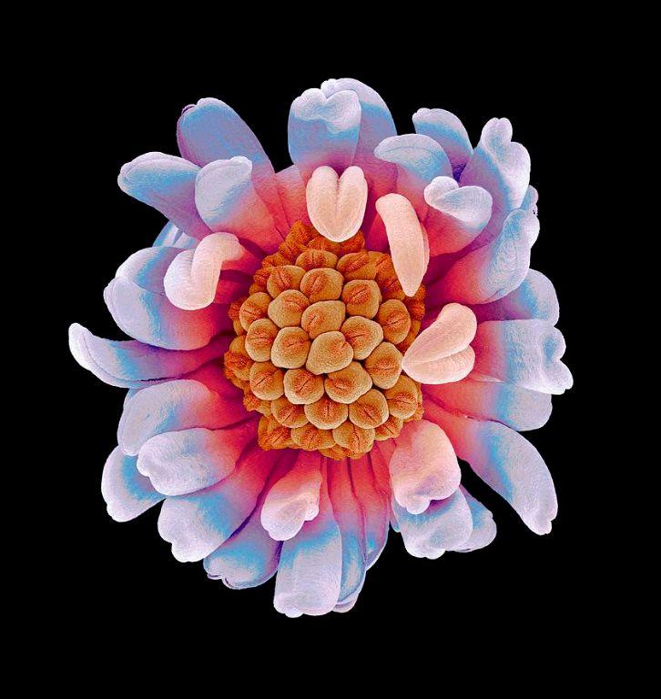 电子显微镜下花的未知之美
