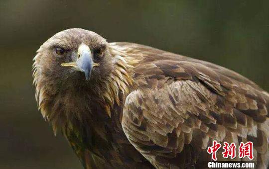 男子高价售卖国家一级保护动物金雕获刑