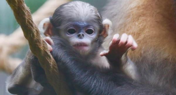 视点 | 北京动物园黔金丝猴宝宝亮相 数量比野生大熊猫还少